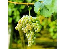 ACCC to investigate wine grape price gouging