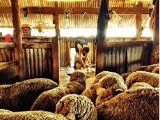 AWI working to lift the 'Baa' on shearing shed safety