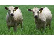 AgGenetics is Answering Global Beef Demand with New White Angus Breed