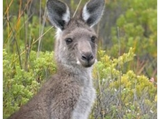 Asia's growing appetite for kangaroo