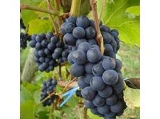 Aussie table grapes to enter Korean market