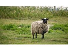 Australia exports sheep to China in genetics breeding program
