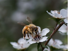 Australian Manuka adopts Mark of Authenticity to meet international standards