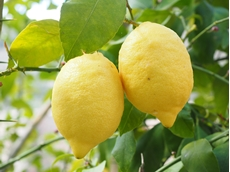 Australian lemon growers should export, industry specialist says