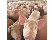 Australian pork industry calls for tougher penalties against animal activists illegally filming on farms