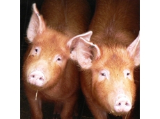 Backyard pig production poses foot and mouth threat, VFF