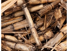 Better sugarcane varieties for growers and miller