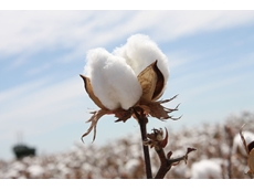 ​Chinese cotton yield continues to drop