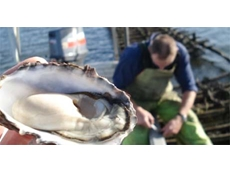 Coalition investment in oyster industry breeding innovation