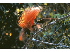 """Conservation groups say the mine will have a """"dramatic"""" effect on wildlife, including birds of paradise."""