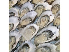 Disease resistant oyster gives hope to producers