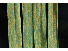 FAO pushes to combat wheat rust crop disease
