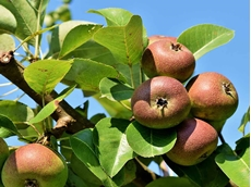 Free pest and disease management training for apple and pear growers