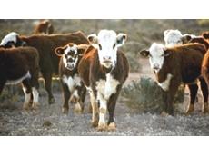 Genomics pioneer set to beef up Australian cattle industry