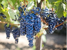 Grape growers battle heat ahead of vintage