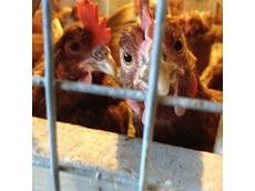 Hong Kong culls 20,000 chickens following H7N9 virus detection