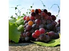 Hunter wine industry suffering from oversupply of Aussie vino