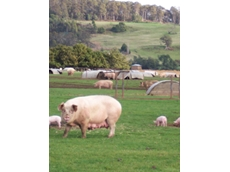 ​IBISWorld reveals that revenue growth for pig farming is outpacing beef cattle