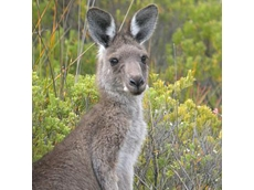 Kangaroos to be processed into pet food