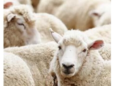 Live sheep export challenged in federal court