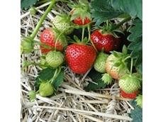 Methyl Bromide: its use in keeping Australian strawberries clean
