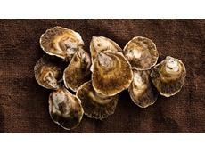 Native Angasi oysters about to be harvested by Tasmanian shellfish farmers after six-year trial