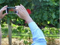 New app to measure water stress of grapevines