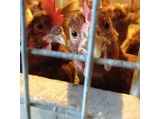 PETA wants egg farmer to experience battery hen conditions