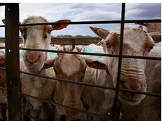 Potential live export breaches reported in Jordan and Kuwait