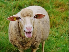Producers urged to participate in national sheep parasite survey