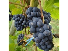 Red wine grape crops impacted by fungus outbreak