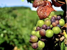 Research aims to help grapegrowers deal with climate change challenges