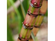​Research ideas sought to benefit Australian sugarcane industry