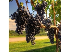 Research project aims to prepare grape growers for climate change