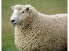 Sheep join the war on weeds
