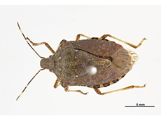 Stronger biosecurity measures to manage stink bug risks