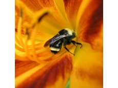 Tasmanian beekeepers threaten pollination ban if GM moratorium is lifted