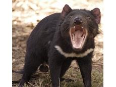 Tasmanian open cut mine may be safe haven for Tasmanian devils
