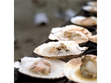Tasmanian scallops back on the menu after algal bloom scare