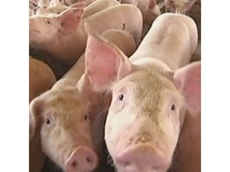 Testing time for Australian pork producers