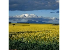 Virus wipes out SA canola crops