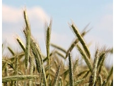 Wheat genome decoded to enhance food security
