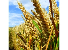 Wheat production plant to be built in Tamworth