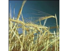 Abb Grain Presents Capstan: A Very High Yielding, Cereal Eelworm Resistant, Dwarf Feed Barley.
