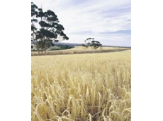 DHOW Barley from ABB Grain: Highly Sought After Mid to Late, Semi-Dwarf, Short-Strawed, Malting Barley