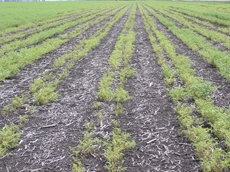 Damage to chickpea crop is suspected to be from herbicide residues.