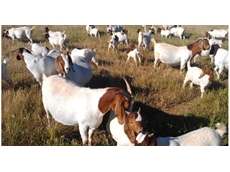 Boer goat breeding