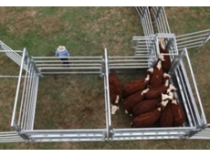 The Beef Buddy cattle handling system