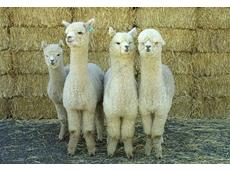 Australian Alpaca Association (AAA)