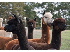 Alpaca breeders in Australasia benefit from the AABA